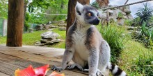 Ring-tailed lemur Southside Johnny sits next to a hibiscus flower