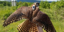 A small hawk, called a kestrel, held in a researchers hand and wearing a small GPS tracker on its back. Its wings and tail feathers are spread out