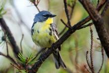 Kirtland's warbler song bird sitting on tree branch