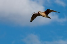 A bird called a long-billed curlew flies across a blue sky. Its wings are outstretched and its long, thin, curved bill is open.