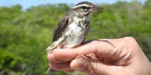A small, gray-brown and white bird, called a Louisiana waterthrush, being held in a researcher's hand