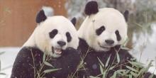giant pandas Mei Xiang and Tian Tian eating bamboo