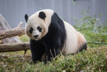 Giant panda Mei Xiang stands in the grass next to a log in her habitat at the Smithsonian's National Zoo