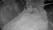 Black-footed ferret mom Potpie and her newborn kit on the Black-footed Ferret Cam livestream