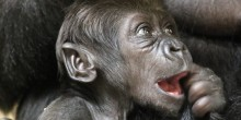 Western lowland gorilla infant Moke at 5 weeks old with a couple of teeth beginning to show