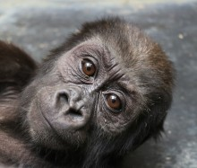 Western lowland gorilla infant Moke at 9 months old.