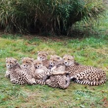 Cheetah Miti and her cubs at the Smithsonian Conservation Biology Institute in 2018.