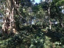 Shade grown coffee plantation in Nicaragua