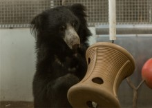 A male sloth bear playing with an enrichment toy