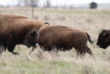 A herd of bison running through grasslands in Montana. One of the bison is wearing a GPS tracking collar around its neck.