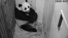 Giant Panda Mei Xiang rests with her tiny, newborn cub in her den at the Smithsonian's National Zoo's Giant Panda House