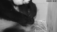 Giant Panda Mei Xiang rests with her tiny, newborn cub under her arm in her den at the Smithsonian's National Zoo's Giant Panda House