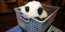 Bei Bei poking his head out of a plastic basket