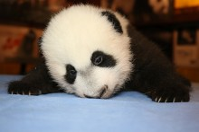 Bei Bei face down on a blue table cloth