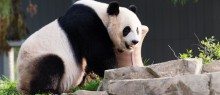 Giant panda in yard