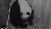 Still from Pandacam of Mei Xiang giving birth