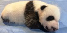 panda cub asleep