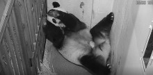 Giant Panda Mei Xiang holds her cub gently in her mouth as she readjusts her position.