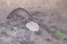An illegally trafficked common African pangolin