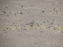 """A shorebird, called a Peruvian tern, with white feathers and a black """"mask"""" of feathers. The bird stands camouflaged among the desert landscape of Peru's Paracas National Reserve."""