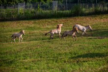 Four Przewalski's horse foals at the Smithsonian Conservation Biology Institute.