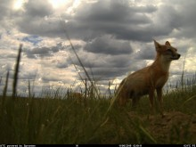 A small fox, called a swift fox, standing on Montana's grassy plains under a cloudy sky. The photo was captured by a camera trap.