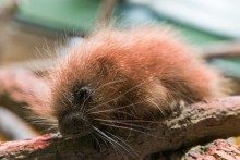 Prehensile-tailed porcupette born Oct. 19.