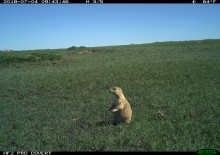 A camera trap photo of a prairie dog standing in short prairie grass on a cloudless day in Montana