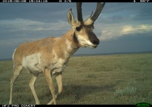 A camera trap photo of a hoofed animal (called a pronghorn) with thick fur, big ears and large, flattened antlers walking across the wide-open grasslands of the American prairie