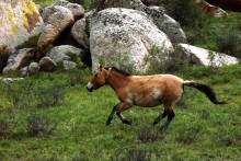 A Przewalski's horse running through the grass with large boulders in the background