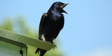 A purple martin bird perched on the edge of a bird house with its mouth open in a call