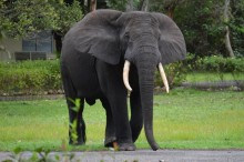 African elephant in Gabon