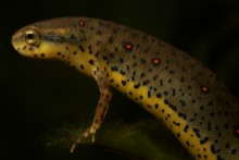 a red-spotted newt