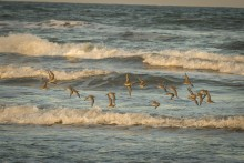 a flock of birds flies over beach waves