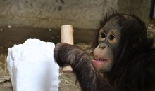 Infant orangutan Redd holds a wooden tool and plays with a block of snow