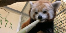 Red panda Asa eating a bamboo shoot at Asia Trail.