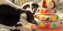 Black-and-white ruffed lemurs Aloke and Wiley nibble on their flower-themed fruitsicle cake.