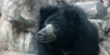 Sloth Bear Hana