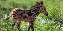 Zebra colt in a field at the Smithsonian Conservation Biology Institute.