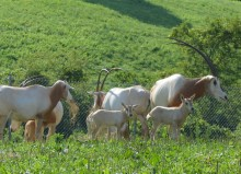 A herd of female scimitar-horned oryx with long, curved antlers and their newborn calves stand in the grass