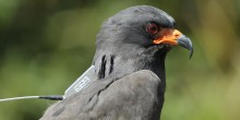 A dark gray bird with red eyes and an orange and black beak, called a snail kite, wearing a GPS satellite tracker on its back