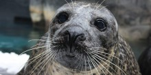 close up of Squeegee the harbor seal's face and whiskers
