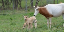 Two scimitar-horned oryx calves.