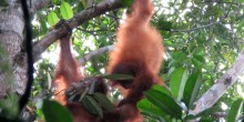 Two young orangutans play in the trees in Borneo at the Tuanan Orangutan Research Station.