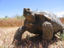 Large male tortoise standing in desert environment
