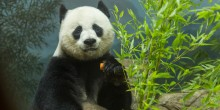Giant panda Mei Xiang eating