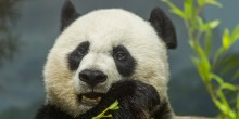 Mei Xiang eating bamboo.