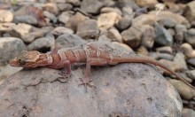 Lenya banded bent-toed gecko on a rock
