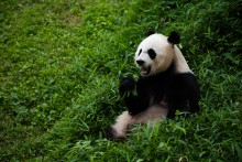 Mei Xiang sitting in grass eating bamboo.