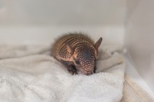 A screaming hairy armadillo pup in an incubator on a bed of towels.